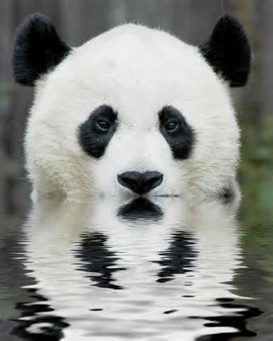 Znaš li gdje živi panda?