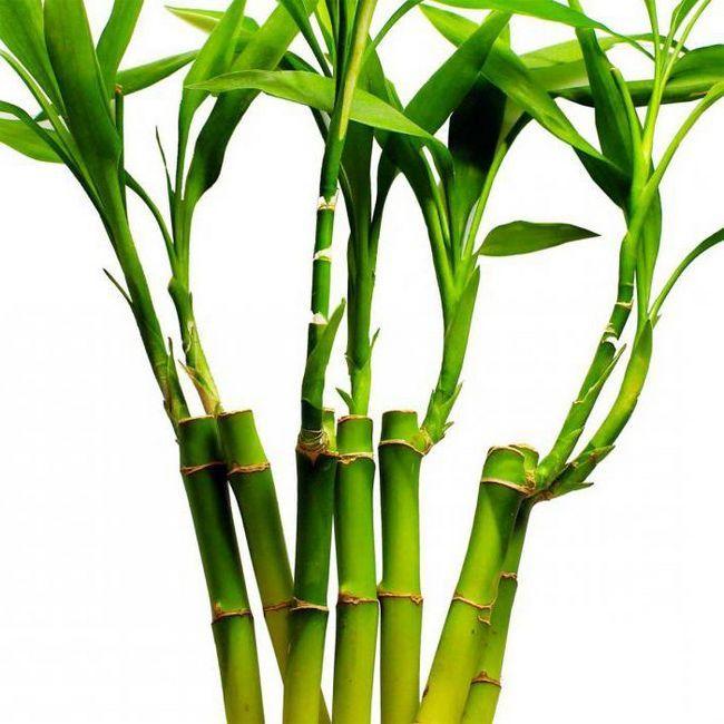bambus raste