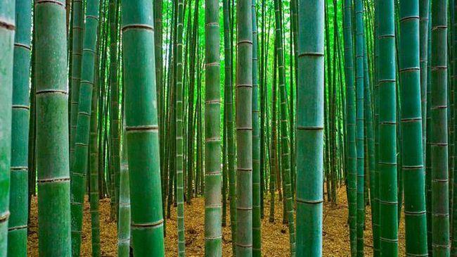 bambus slike