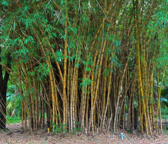 biljka od bambusa