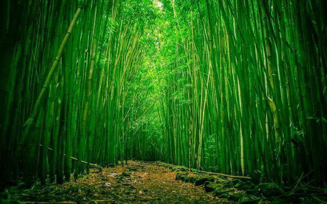 bambus stabljika