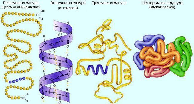 Enzimi proteina
