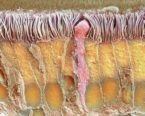 vrčastih stanica epitela