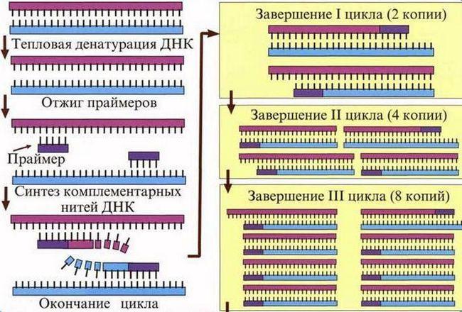 stupnjevi reverzne transkripcije