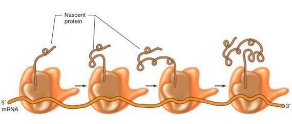 staničnih polisoma
