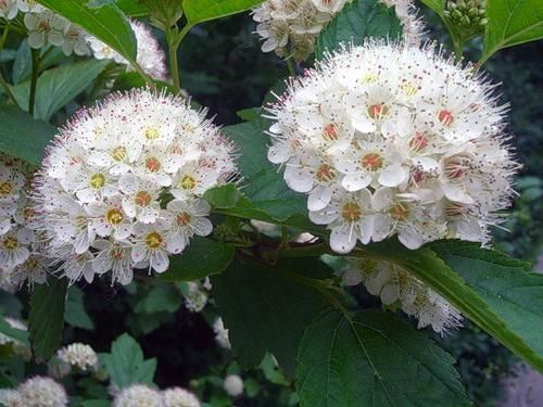 cvjetova glog medicinskih svojstava