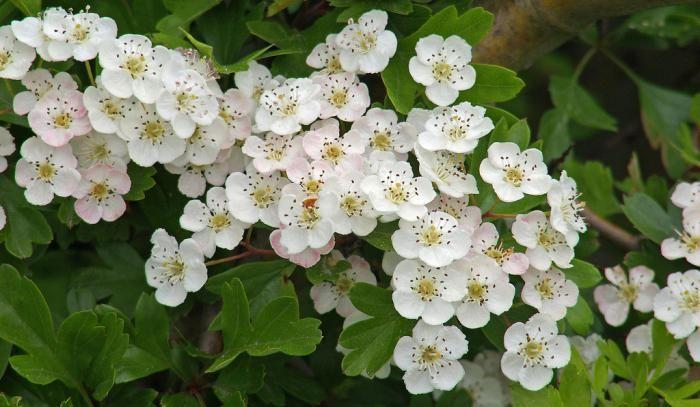 glog cvijeće korisna svojstva