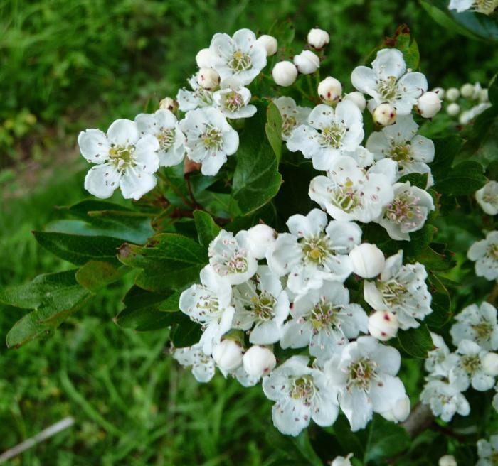 aplikaciju glog cvijeća