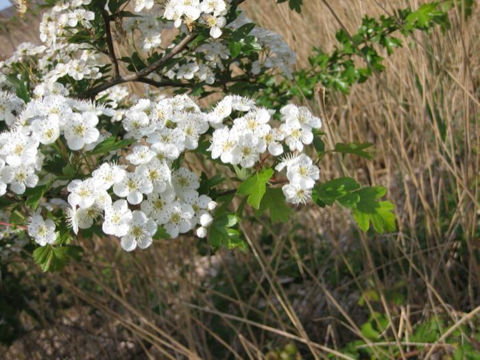glog cvjetova ljekovita svojstva i kontraindikacije