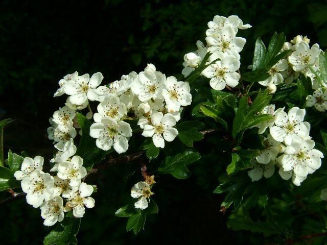cvijeće i lišće glog