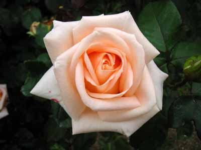 ružičasti