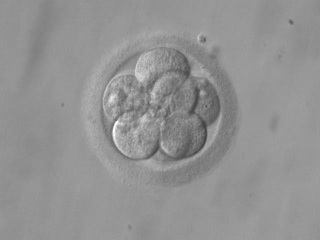 kulture embrija in vitro