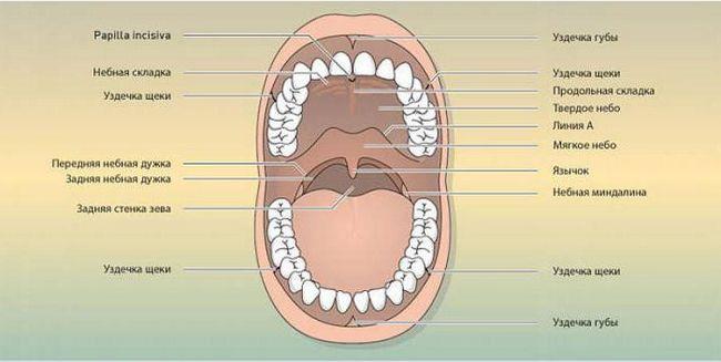 dno anatomije usta