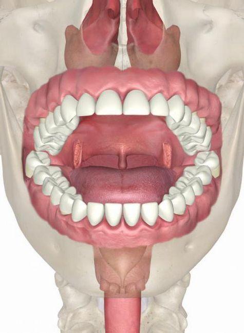 anatomija usta i zuba