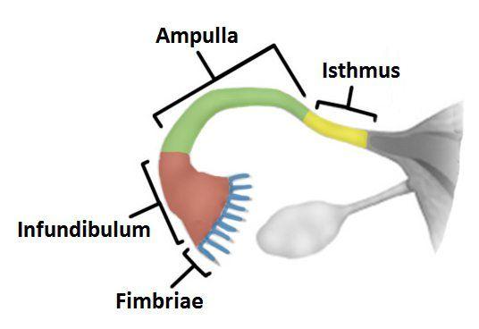Fallopijske cijevi u žena