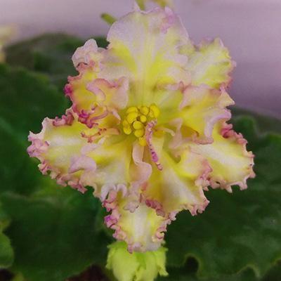 Violet sunkissed ruža