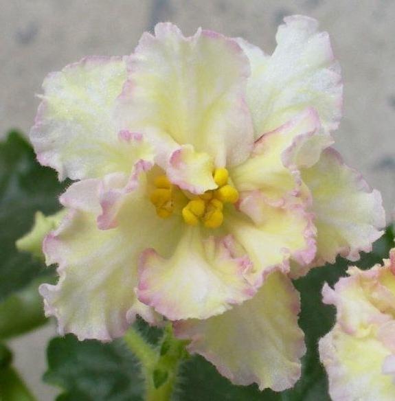 Violet raznolikost sunkissed ruža