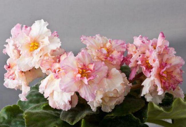 Ljubičasta sunkissed ruža fotografija i opis