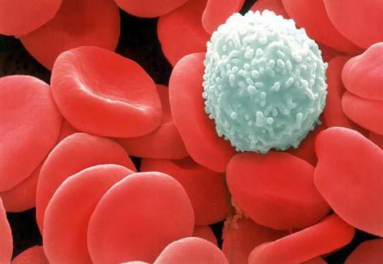 gdje se formiraju leukociti i koliko ih živi