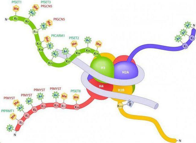 histon proteina