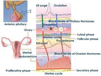 gonadotropnih hormona prednjeg režnja hipofize