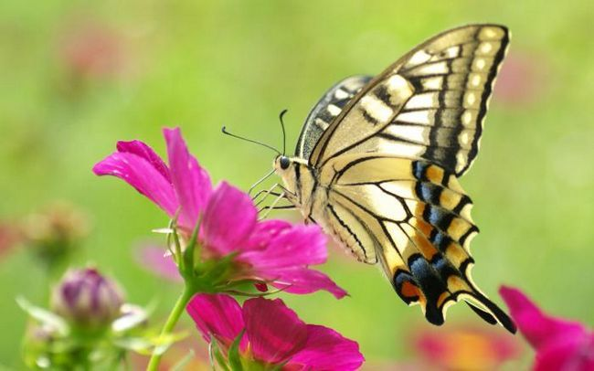 Интересные факты о бабочках для детей. Бабочка-лимонница: интересные факты