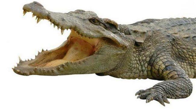 zašto krokodili plakati kad jedu