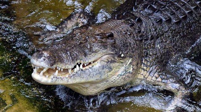 Da li krokodil plače?