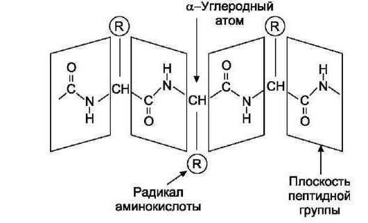 iz aminokiselinske rezidue molekule su konstruirane