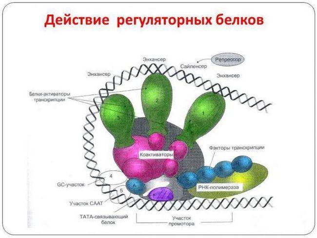 koliko je aminokiselina protein