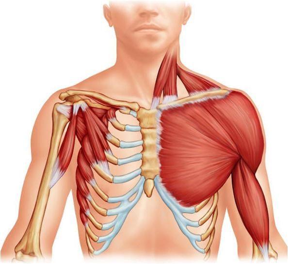 mišiće ekstremiteta