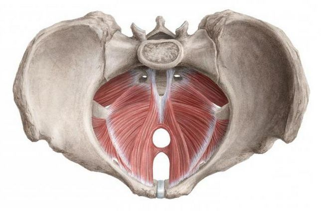 dijafragmatska anatomija