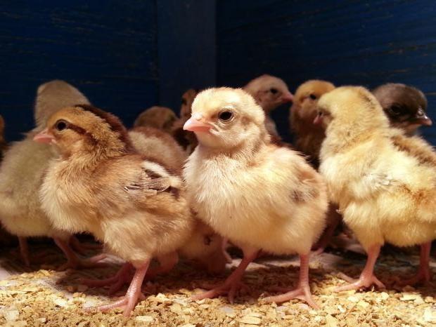Как отличить цыплят курочек от петушков? Суточные цыплята