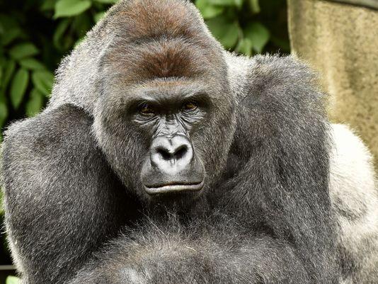 Gorilla s visokim razinama testosterona