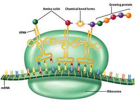 Struktura tRNA je kratka