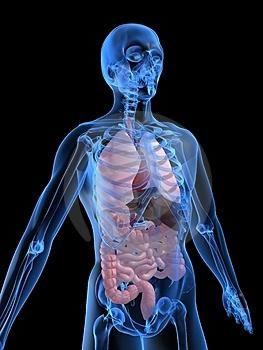 Raspored organa kod ljudi