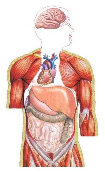 Mirror raspored organa