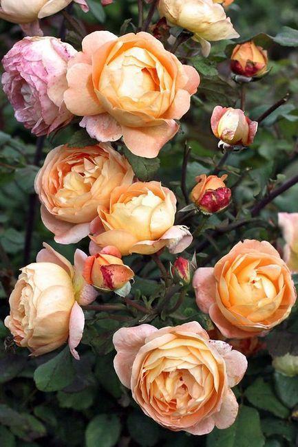 Kako uzgajati ružu iz buketa kod kuće?