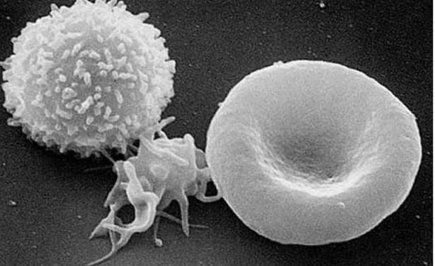 očekivano trajanje života ljudskih leukocita