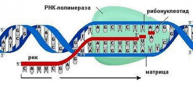 Koja je uloga citoplazme u biosintezi proteina ukratko