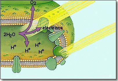 роль воды в клетке тела человека