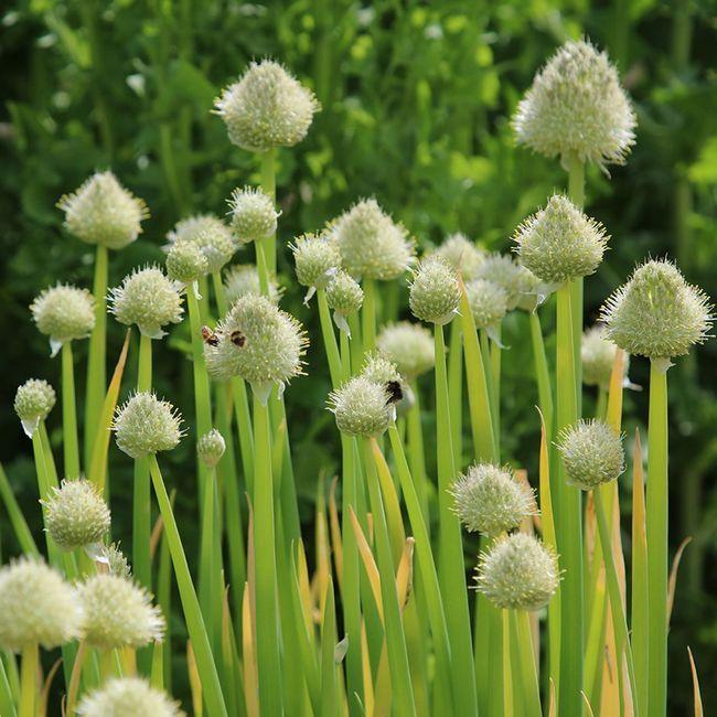 Zdjelu luk: fotografija, uzgoj sjemena, sadnju i njegu