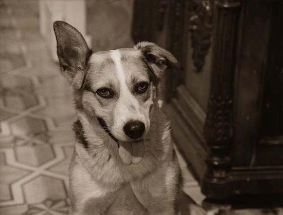 М. А. Булгаков, `Собачье сердце`: сочинение по произведению