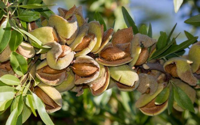 Almond: koliko točno i koliko možete jesti, korisna svojstva i sadržaj kalorija