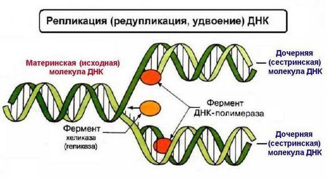 monomeri dnk nukleotidi