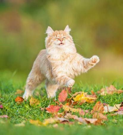 mogu dati mačkama valerian