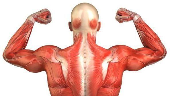 Mišićna ljudska shema