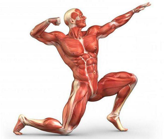 skupine ljudskih mišića