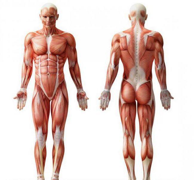 shema strukture mišića čovjeka