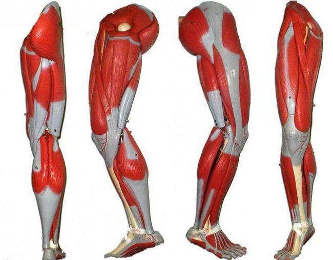 mišiće nogu osobe